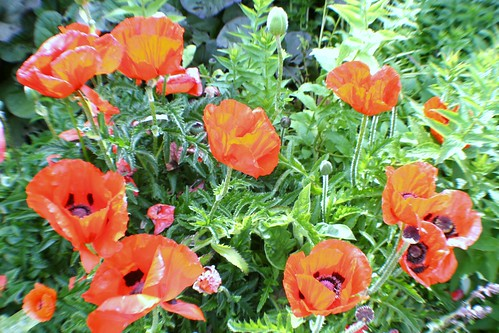 Red Poppies at Pollock House