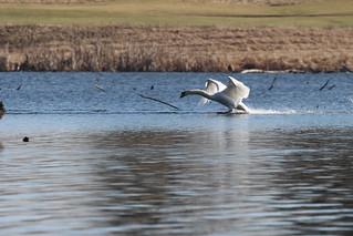 Mute Swan by Russ Allison
