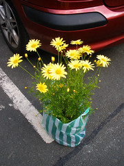 Yellow daisies from Glencree (St.Stello) Tags: ireland daisies pinky cowicklow