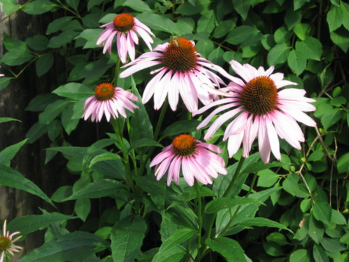 coneflowers (and a bee)