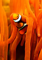Enjoying the clown show (kees straver (will be back online soon friends)) Tags: ocean blue sea orange fish macro water amsterdam coral zoo aquarium underwater nemo stripes clown australia scuba diving hideandseek clownfish anemone reef anemones artis anawesomeshot keesstraver