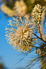 "Grevillea ""Moonlight"" (Craig Jewell Photography) Tags: sky tree yellow garden iso100 cream australia brisbane noflash brush pale queensland indigenous grevillea 105mm sigmalens f67 banksii grevilleabanksii 1350sec 20090815163917igp9007 grevilleawhiteana whiteana craigjewellphotography"
