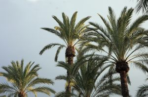 Palm Date Trees