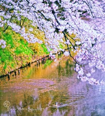 Duck in Sakura Moat.(Hirosaki Japan).  Glenn Waters. (Glenn Waters in Japan.) Tags: castle japan 50mm duck nikon  cherryblossoms hirosaki moat  f12       d700  nikond700  nikkor50mmaisf12 glennwaters
