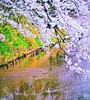 Duck in Sakura Moat.(Hirosaki Japan). © Glenn Waters. Over 15,000 visits to this image. (Glenn Waters ぐれんin Japan.) Tags: castle japan 50mm duck nikon 桜 cherryblossoms hirosaki moat 90 青森 f12 春 アヒル 弘前 お城 弘前城 ニコン d700 堀 nikond700 ぐれん nikkor50mmaisf12 glennwaters