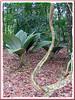 Johannesteijsmannia magnifica (endemic to Peninsula Malaysia, a rare forest understorey palm)
