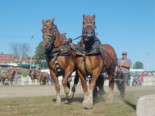 Shawville Fair: Heavy horses