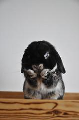 DSC_0037 (rabbitier) Tags: rabbit bunny nikon lapin usagi hollandlop   d90 blackotter