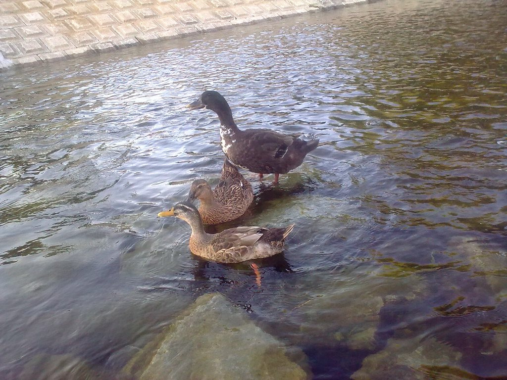 대구 신천둔치 청둥오리 가족 wild duck family at Sinchundunchi, Daegu #6