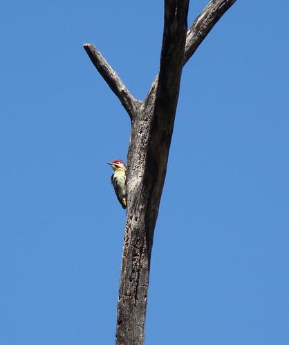 DSC08200 Cardinal Woodpecker