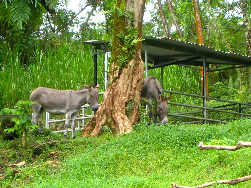 Kona Nightingale Donkeys