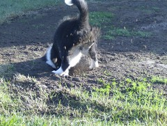 serie - digging - wild action (fotoham) Tags: blackandwhite dog puppy bordercollie pup indi