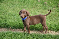 What a Great Portrait Face (Palmer Digital Studio) Tags: dog pet baby brown home halloween puppy toy mix day dancing chocolate tag first vizsla canine queen weimaraner german chew bandana pooch abba hungarian