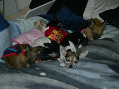 Six Pups on my bed (cerberus_arstd) Tags: dog chihuahua cute puppy puppies zuzu cujo