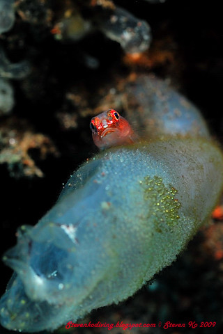 Tiny Goby with eggs
