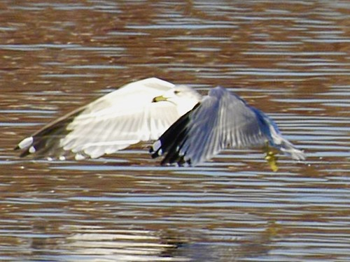 Ring-Billed Gull Farm Pond 6