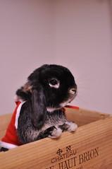 DSC_0037 (rabbitier) Tags: rabbit bunny nikon lapin usagi hollandlop  d90