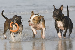 Seaside Staffies (Wayner Cullinaner) Tags: harvey staffordshirebullterrier staffy staffies waynercphotography jesterwillow