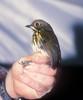 Grallaricula ochraceifronsCPatricia PE 7-02 (barbetboy) Tags: fbwnewbird fbwadded grallariculaochraceifrons