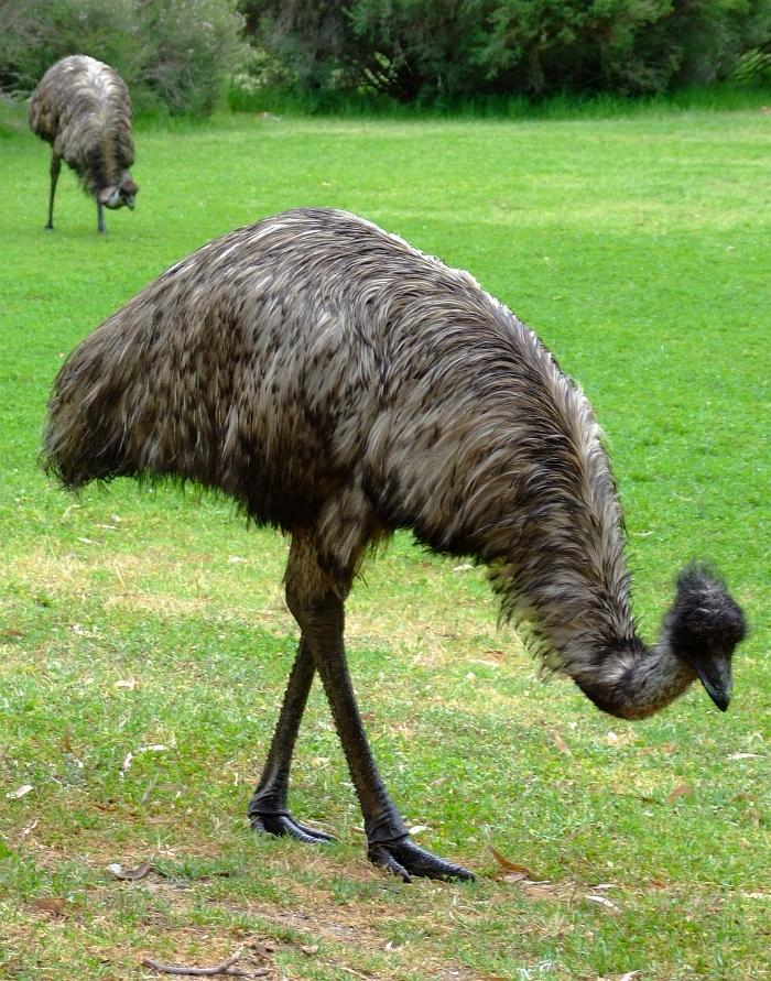 wild emu 04