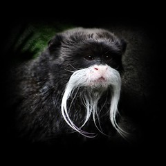 Movember.... (Mary Trebilco) Tags: november nature animal canon monkey australia movember moustache textures nsw browneyes mogozoo emperortamarin saguinusimperator specanimal theunforgettablepictures tup2 vosplusbellesphotos canoneos1000d gettycallforartists