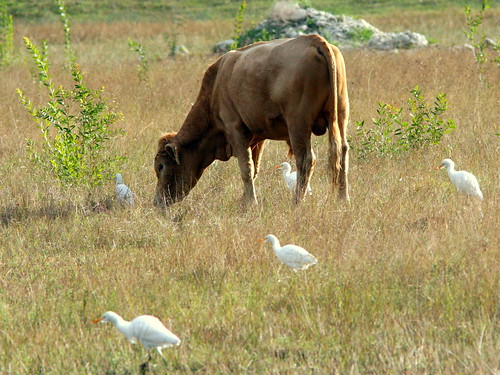 Bull with Cattle Egrets 20091129