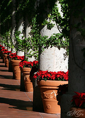Columns in Light (Marcie Gonzalez) Tags: california county christmas morning flowers light red orange plants holiday plant flower green beach fashion shop canon mall shopping way outdoors island photography daylight hall vines holidays december day arch shadows walk poinsettia columns vine line southern pot pots walkway newport shade greens column gonzalez poinsettias oc reds marcie lined marciegonzalez marciegonzalezphotography