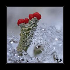 snow crystal (Outburner) Tags: schnee snow macro closeup austria krnten carinthia flechte supermacro converter snowcrystal achromat kenko15x nikond300 marumi5 planticewinter
