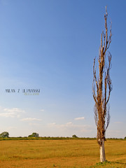 Old man and the Pannonian Sea (Uljmanski) Tags: tree nature landscape serbia priroda vojvodina srbija banat drvo pejsaz belacrkva uljmanski vracevgaj crvenacrkva