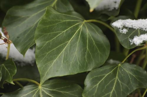 Hedera helix | Klimop (blad van bloemdragende twijg) - Ivy (leaf of flowering branch)