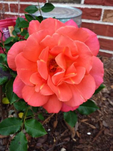 Disneyland Floribunda Rose