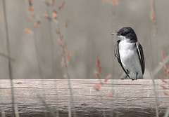 Moments like these (Deby Dixon) Tags: bird art texture photography log weeds nikon montana moody hidden deby avian allrightsreserved nationalbisonrange 2010 sentimental easternkingbird naturephotographer debydixon debydixonphotography