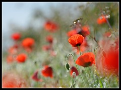 Poppy Bokeh-land! (Levels Nature) Tags: uk flowers light red england sunlight flower nature field backlight petals bokeh somerset petal poppy poppies backlit chedzoy natureselegantshots mygearandme blinkagain thetwoollys