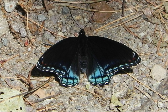 Spicebush Swallowtail (missing its swallows, I guess...)