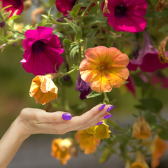 Lovely Petunias (swong95765) Tags: petunias hanging bokeh hand beautiful flowers plant