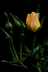"""La vie en rose"" (Nogliki771) Tags: flowers roses nature nikon focus friendship warmth explore yellowrose nkon d80 natureselegantshots naturethroughthelens"