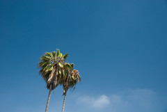 Palms (fakeamerica) Tags: california blue trees sky tree green nature colors clouds losangeles roadtrip palm minimal lookingup
