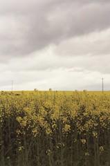 (beth mercer) Tags: travel flowers ireland field yellow 35mm ricoh rapeseed kr5superii ireland2009