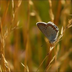 Azur des coronilles ... (Journ'obs...) Tags: ardennes papillon insecte insectes faune panasoniclumixdmcfz18 collectionnerlevivantautrement boisdami azurdescoronilles