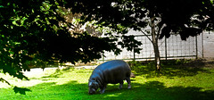 hippo (Karen Clement) Tags: trees grass zoo edinburgh karen hippo clement edinburghzoo eatinggrass karenclement
