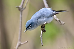 Blue-gray Gnatcatcher (David Seibel) Tags: wild bird nature fauna canon wildlife ornithology bluegraygnatcatcher polioptilacaerulea davidseibel