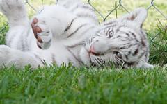Bandit (jennifernikon) Tags: nc whitetiger cnpa rockwellnc tigerworld babywhitetiger