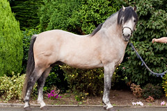 IMG_6928-18 (Rozpravka) Tags: ireland horse pony connemara connemarapony
