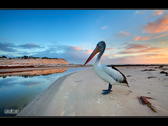 Posing Pelican at Sunset (Dale Allman) Tags: ocean sunset portrait reflection beach nature water clouds sand australian australia wideangle pelican explore adelaide southaustralia hdr 1740 torrens henleybeach 3xp photomatix canon5dmkii bestofmothernature