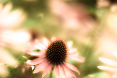 when the hurly-burly's done (harold.lloyd) Tags: pink red flower spiky echinacea cone bokeh quote pinky twirl hazy macbeth reddy 50mmf14 whirling ggt whenthehurlyburlysdone hggt freepreset wellmebbe officialflowerofflickrsummer