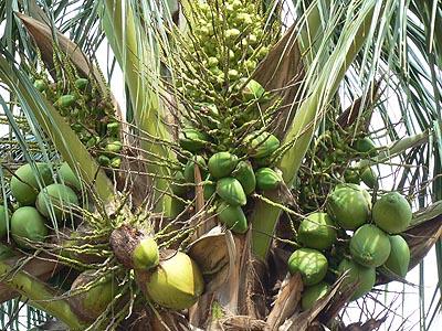 tuxla, sous les cocotiers.jpg