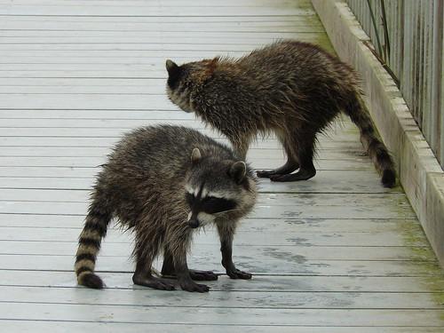 Oso Flaco Lake Raccoons.