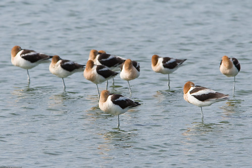 American Avocets by you.