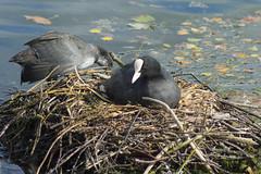 Nesting (Jo Odins) Tags: duck nest clumberpark