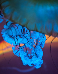 blue tangles (fPat) Tags: orange fish aquarium nikon neon glow purple bright camden turquoise teal jelly translucent thin tentacle tangle wavy waver d80 blueaqua fpatphotocom knotfpatphotocom